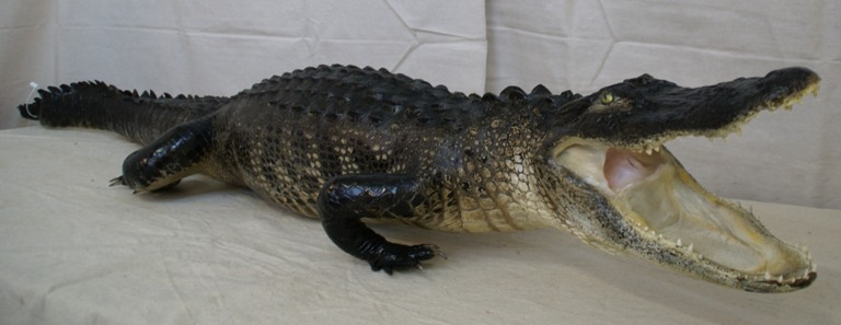 allgiator taxidermy mount, gator taxidermy mount for sale, taxidermied alligator mounts, Florida swamp alligator, alligator in agressive pose