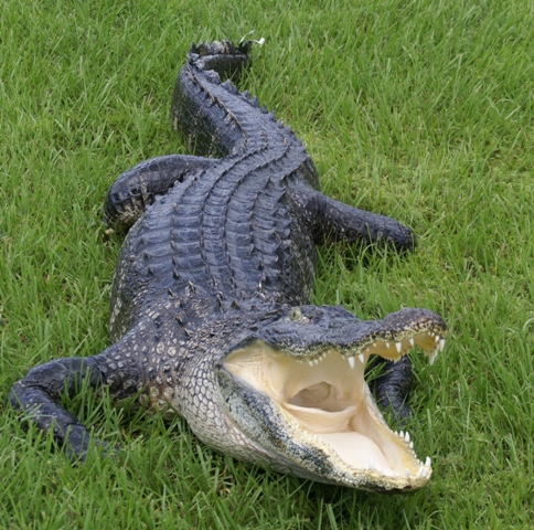 alligator mount for sale, very large alligator mount,large florida alligator, stuffed alligator for sale, gator mount,large gator mount, awesome alligator mount, taxidermy artistry, beatiful alligator taxidermhy mount for sale, great prices on alligators, florida gator mounts for sale, best prices on alligator mounts, huge gator mount for office, ultimate gator fan gift, florida alligator mounts for sale