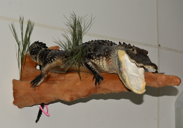 alligator on cypressr, alligator mount on cypress, gator mount on wood, beautiful full body alligator mount