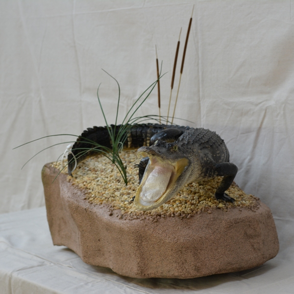 alligator mounted on a rock, alligator mounted in reeds, gator mount on a rock, natural taxidermy mount setting, gator mounted on a rock setting