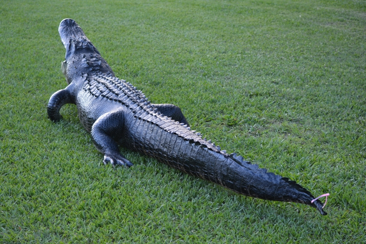 alligator mount for sale, florida alligator mount, large alligator mount, full body alligator mount