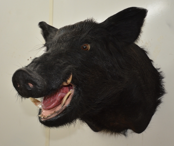 wild boar taxidermy mounts for sale, black boar taxidermy heads, taxidermy head mounted boars, wild boar taxidermy shouilder mounted head