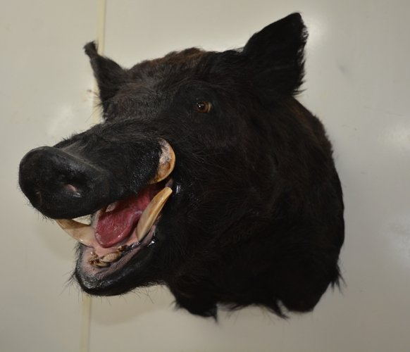 boar taxidermy photo, image of a wild boar, wild boar taxidermy, Florida wild boar taxidermy mounts