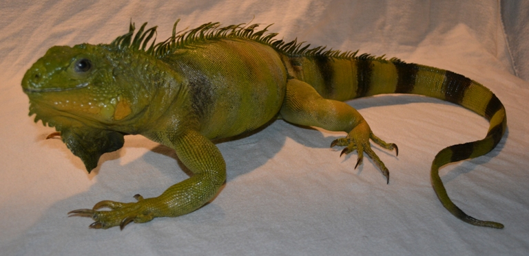 iguana mount for sale, taxidermy iguana mount, green iguana mount for sale, taxidermy iguana mount, full sized iguana taxidermy mount