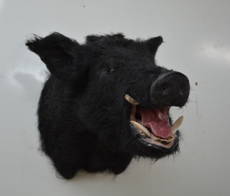 wild boar mount for sale, razorback boar, wild boar for sale, taxidermy for sale, wild boar taxidermy, Florida wild boars
