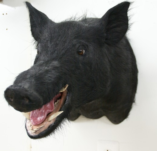 boar taxidermy,boar taxidermy mounts, wild pig mounts, wild pig taxidermy, taxidermy hogs for sale