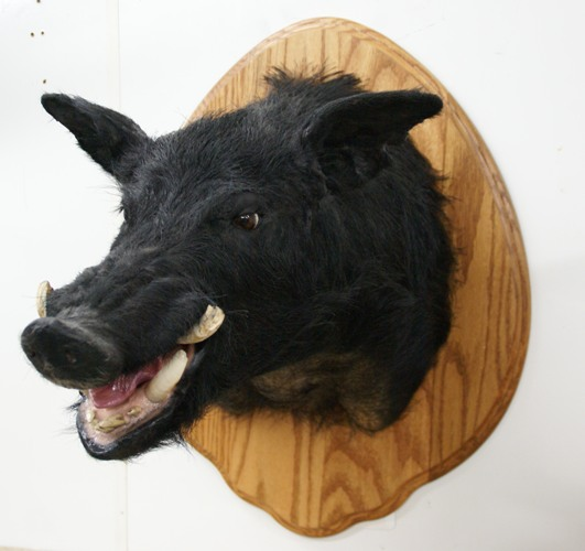 wild boar mount, boar mount, pig mount, razorback for sale, wild boar for sale, wild boar mount for sale