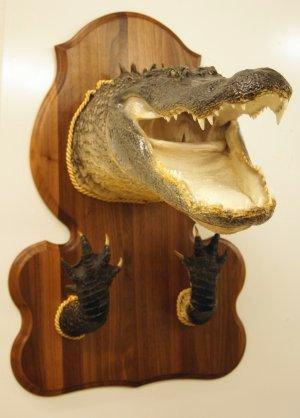 Alligator Mounts Alligator Taxidermy Gator Taxidermy